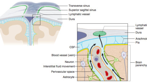 The New Era of the Lymphatic System Arrived!